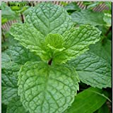 100 Spearmint Mint Seeds Edible Cat Nip ...