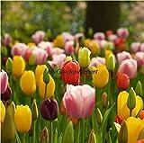 New Hot Selling 5pcs Tulip Bulbs, Tulip Ball Seeds Bonsai Flower Seed Pot Plant Home Garden Free Shipping