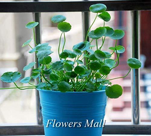 Portal Cool Gelb: 200Pc Mehrjährige Kräuter Dicentra Spectabilis Blume Pflanze Blutendes Herz Samen Heiß (Blutendes Herz)
