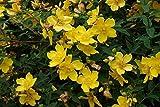 Portal Cool 1 Johanniskraut/Hypericum 'Hidcote' 30-50cm Medium Plant