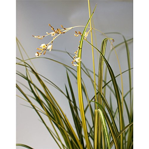 Anthericum Starlight® - Gras Starlight, Neuheit, winterhart im Topf 13 cm, in Gärtnerqualität
