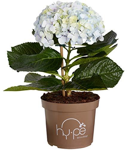 Dehner Bauern-Hortensie Avantgarde, sehr große blaue Blüten, ca. 50-60 cm, ca. 5 l Topf, Zierstrauch -