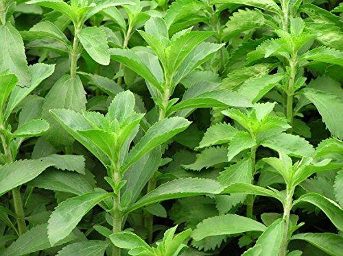 (Sweet Leaf * Ambizu *) 100 Samen Stevia Rebaudiana. Sweetleaf, Sweet Leaf, Sugarleaf Seeds
