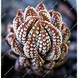 100 piezas distintas semillas Lithops que viven las semillas de flor de piedra Cactus Cactus Succulent Raras Bonsai colorido carnoso Planta Fácil Crecer Jardín