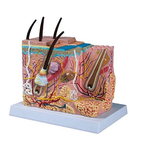 Unbekannt Anatomie-Modell Haut, hochwertig, 50-Fach vergrößert - Biologie-Lehrmittel Schule -