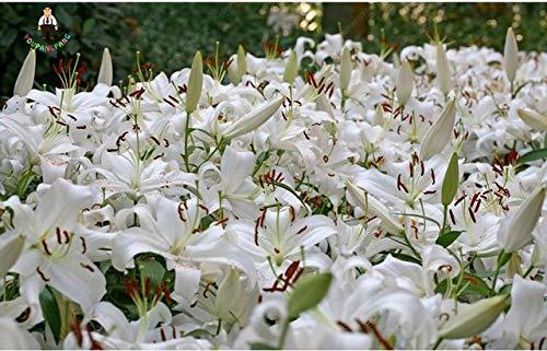 Fash Lady 100 pcs/sac Plantes de Lys GÃant Plantes à Fleurs de Lys Pas Cher Lys Barbados Potsai Bonsaï Balcon Fleur: Bourgog
