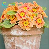 Green Seeds Co. 200 pz/borsa 9 tipi di fiore raro Zebra Evening Primula piante Rare bonsai Garden Big Flower Watch Bonsai Fiori Bulbi Pl: Orange