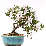 Bonsai–Jap. sats Uki azalee 'Hi de no de Maru', Rododendros Indicum 183/55