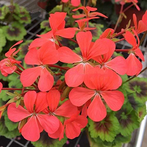 Portal Cool Kaufen, 3 2 Free Erbstück Upright Blumen Geranium 5 Stück Samen Sonder orange