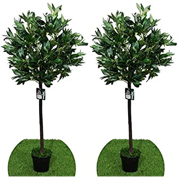 Pair of 4FT Artificial Bay Leaf Tree Indoor or Outdoor Decorative ...