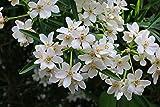 Orangenblume - Choisya ternata - Aztec Pearl - schmalblättrig, immergrün, weiße duftende Blüten
