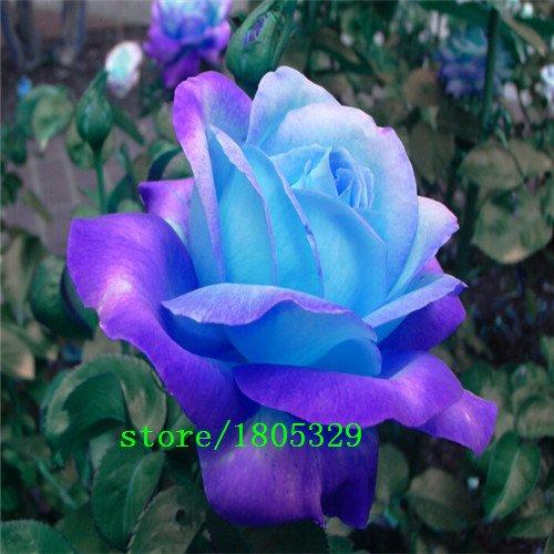 Pinkdose GGG di trasporto 50 Blue Dragon Rosa semina, bella striscia Rare cespuglio di rose pianta, giardino o cortile fiore: 3