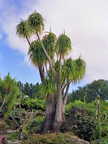 Elefantenfuß Beaucarnea recurvata Pflanze 5-10cm Ponytail Palm Monja Nolina