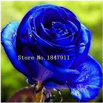 big-verkauf-100pc-lot-rosafarbene-samen-stieg-bonsai-14-arten-rose-samen