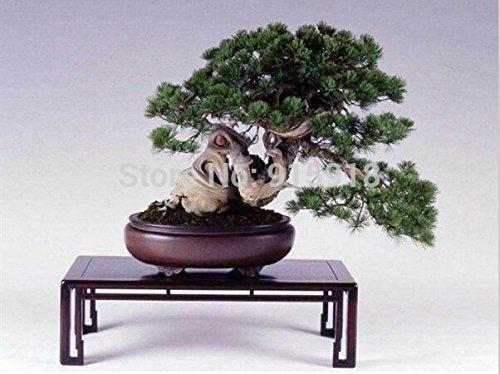 graines Bonsai 50Pcs japonais pin graines d'arbres, bonsaï Pinus thunbergii graines bonsaï rares graines de fleurs japonais alpine Maison & Jardin