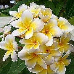 Keland Garten - Thailand Plumeria rubra echte Frangipani Blume Samen duftend - Summer Moon, ideal für den Wintergarten (Gelb 50 Samen)