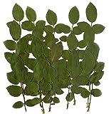 gepresst Rose Blätter 20 Stück