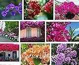 Vista Haus & Garten Heißer Verkauf Verkauf!100 teile/beutel Seltene Chinesische Bougainvillea Samen vielzahl Bonsai Blumensamen Garten Roman Pflanzen Anti-Rad