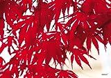 Tischsets abwaschbar Platzsets Japanischer Ahorn von ARTIPICS 4er-Set Platzdeckchen Kunststoff 42x30 cm Ahornblätter besonders schöne Makro-Aufnahme sommerlich oder herbstlich