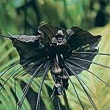 CROSO Keim Seeds Nicht NUR Pflanzen: Flower - Fledermausblume - Bat Seeds - 5 Samen
