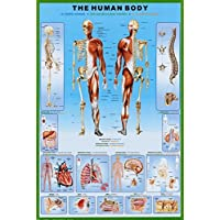 El Cuerpo Humano - Anatomía Póster (91 x 61cm)
