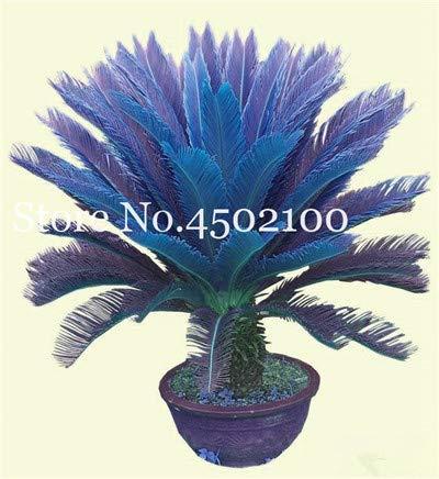 bloom green co. 5 pz blu cycas bonsai, sago palma plant, cycas albero, pianta in vaso rare per la casa giardino popolare paesaggio pianta facile da coltivare: 5