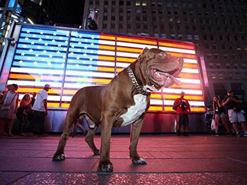Hulk Takes Over New York - Big Dog Pit Bull