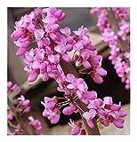 Cercis chinensis - Chinesischer Judasbaum - 15 Samen