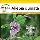 SAFLAX - Set per la coltivazione - Akebia a cinque foglie - 10 semi - Akebia quinata