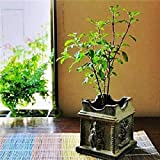 LIVE Krishna Tulsi Plant with Pot
