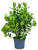 Balsamapfel Princess große Zimmerpflanze für Hell-Halbschatten Clusia rosea 1 Pflanze 100-120 cm im 35 cm Topf