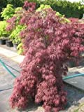 roter japanischer Schlitzahorn Acer palmatum Dissectum Garnet 30-40 cm breit im 3 Liter Pflanzcontainer