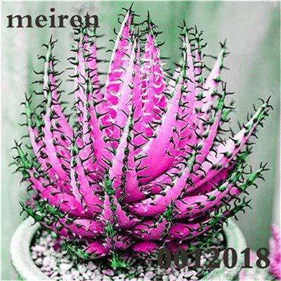 Plentree Pacchetto semi: 100 pezzi Succulente Aloe Bonsai Rare Polyphylla rotazione Aloe Vera regina Bonsai Piante grasse per la casa e amp; Giardino: 17
