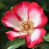 """Strauchrose """"Pretty Kiss®"""" - rot-weiß blühende, duftende ADR-Topfrose im 6 L Topf - frisch aus der Gärtnerei - Pflanzen-Kölle Gartenrose"""