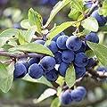 1 Stück Schlehe / Schwarzdorn - (Prunus spinosa - Schlehdorn), Containerware 60 - 100 cm von Baumschule Biermann auf Du und dein Garten