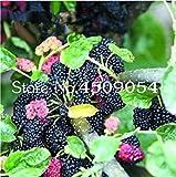 1000 Pz Rare Mulberry Bonsai Rare Gelso pianta esotica Pakistan Fruit Bonsai Grande Super Dolce Non-OGM Alimentari per Il Giardino: 200pcs