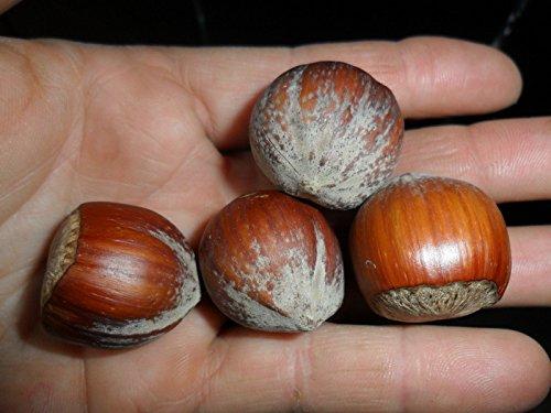Graines rares GIANT NOISETTES -Corylus maxima: HALL GÉANT - 3 graines fraîches