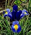"""Iris hollandica Holländische Iris """" Blue Magic """" (20) von GHA-Thulke - Du und dein Garten"""