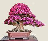 10 Stück Echt Adenium obesum Samen Desert Rose Blumensamen-Hausgarten Bonsai Sukkulenten Samen für Beispielauftrag