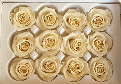 12 Echte, konservierte Rosenköpfe mini; Farbe champagne, dazu 25 gr. Konserviertes Moos
