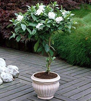 Vedanta-Sales-GardeniaCape-Jasmine-jasmin-Live-Natural-PlantPot-Included