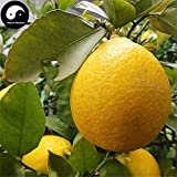 Homely Kaufen Citrus Limon Fruit Semente 40Pcs saat Zitrone Orangenbaum Fr Obst Ning Meng