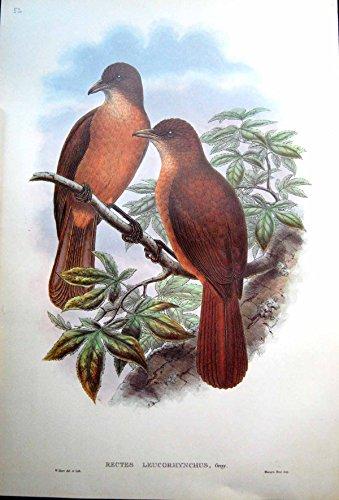John Gould Gould Vogel (Drucken Sie Berechneten Hölzernen Würger-Vogel Erwachsener Mannes-Johns Gould Rectes Leucorhynchus Weiß)