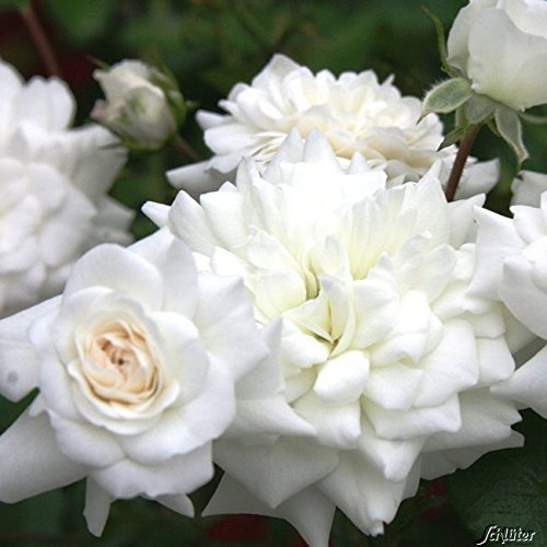 fairy rosen Rose The Fairy White- Bodendeckerrose weißen Blüten - Kleinstrauchrose Pflanze Winterhart Halbschattig von Garten Schlüter - Pflanzen in Top Qualität
