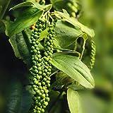 #10: Black Pepper KaliMirch Live Plant, काली मिर्च का पौधा , Piper nigrum, Healthy Black Pepper Spice Plant