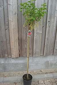 Ribes nigrum 'Ben Sarek' - (Johannisbeere 'Ben Sarek')- Containerware Stammhöhe: 80-90 cm