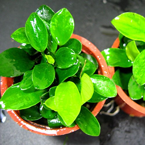 Buy Aquarium Live Water Plants products online in Oman