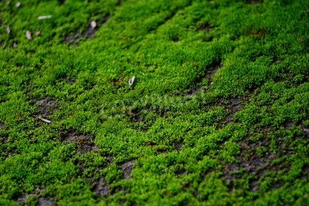 adrium Leinwand-Bild 60 x 40 cm:Moss is considered the first crop of the water-to-land development Green Chlorophyll provides photosynthesis to create food that, Bild auf Leinwand