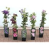 Clematis plantas trepadoras 40-100cm topfgewachsen, varios tipos / COLORES - violeta, 40-60cm