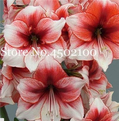 Bloom Green Co. Sale!120 Pcs/Bag Mixed Amaryllis Bonsai, Balcony Garden Lily Plant And Bonsai Flower Pot For Home Indoor Plants Flowers Semillas: 8